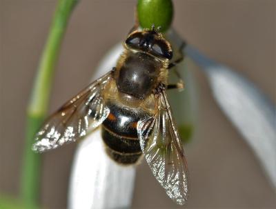 Deze 'Blinde bij' is eigenlijk een zweefvlieg